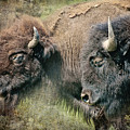Bisons by Iris Greenwell