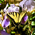 Butterfly Collection Design by Debra     Vatalaro