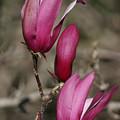 Magnolia by Masami Iida