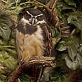 Owl by Gouzel -