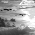 2 Pelicans Flying Into The Clouds by Michael Thomas