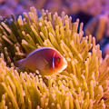 Tropical Fish Pink Clownfish by MotHaiBaPhoto Prints
