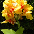 Yellow Canna Lily by Terri Mills