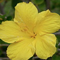 Yellow Hibiscus by Eddie Freeman