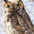 Great Horned Owl by Dennis Hammer