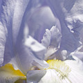 Iris Flowers by Tony Cordoza