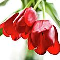 3 Tulips by Kathryn Goddard