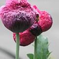 Poppy by Helen Penwill