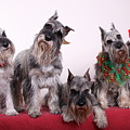5 Christmas Schnauzers by Bill Schmitt