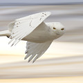 Snowy Owl In Flight by Mark Duffy