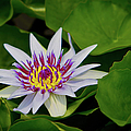 Water Lily by Dennis Goodman