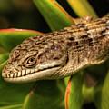 Lizard by Marc Bittan