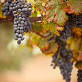 Grapes On The Vine by Andy Dean