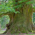 800 Years Old Oak Tree  by Heiko Koehrer-Wagner