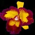 Orquid by Galeria Trompiz