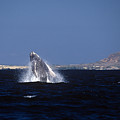 A Baby Humped Backed Whale Breeching In Banderous Bay Mexico by John Harmon