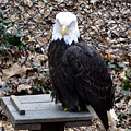 A Bald Eagle by Eva Thomas