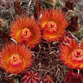 A Barrel Cactus Is Blooming by George Grall