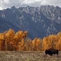 A Buffalo Grazing In Grand Teton by Aaron Huey