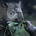 A Captive Sumatran Rhinoceros by Joel Sartore