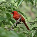 A Cardinal Day by Kim