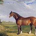 A Clydesdale Stallion by John Frederick Herring Snr