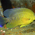 A Dusky Damselfish Offshore From Panama by Michael Wood