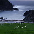 A Flock Of Sheep Graze On Seaweed by Jim Richardson