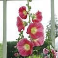 A Garden Greenhouse - Hollyhock by Margie Avellino