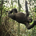 A Gorilla Swinging From A Vine by Michael Nichols