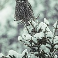 A Great Gray Owl Strix Nebulosa Perches by Tom Murphy