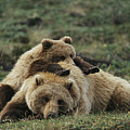 A Grizzly Bear Cub Stretches by Michael S. Quinton