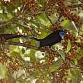 A Male Princess Stephanies Bird by Tim Laman