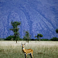 A Male Ugandan Kob Stands His Ground by David Pluth
