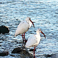 A Pair Of White Isbis Standing In The Shore by Christopher Purcell
