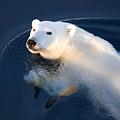 A Polar Bear Glance by Ira Meyer