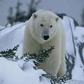 A Polar Bear In A Snowy, Twilit by Norbert Rosing