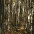 A Stand Of Birch Trees Show by Raymond Gehman
