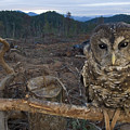 A Threatened Northern Spotted Owl by Joel Sartore