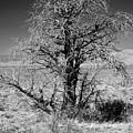 A Tree In The Dry Land by Hideaki Sakurai