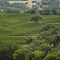 A Vineyard In The Anderson Valley by Richard Nowitz