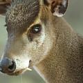 A Western Tufted Deer Elaphodus by Joel Sartore