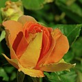 A Wet Rose  by Jeff Swan