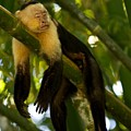 A White-throated Capuchin Monkey by Roy Toft