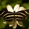 A Zebra-winged Butterfly At The Lincoln by Joel Sartore