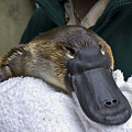 A Zookeeper Cradles A Platypus As Part by Jason Edwards