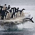 Adelie Penguin Pygoscelis Adeliae by Tui De Roy
