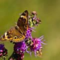 Admiral Butterfly  by Douglas Barnett