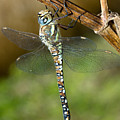 Aeshna Mixta Dragonfly by Bob Kemp