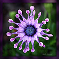 African Daisy - Hdr by Carol Groenen